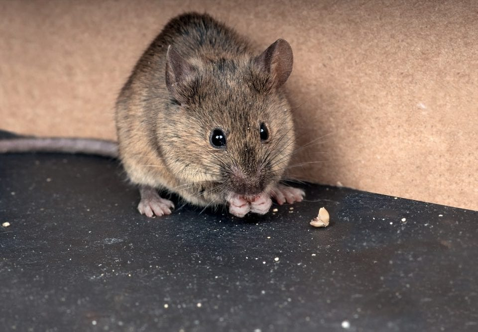rodent-in-home