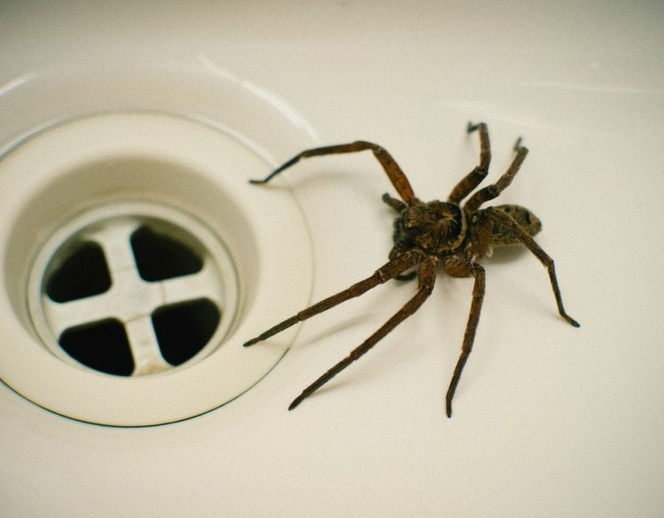 spider in bathtub