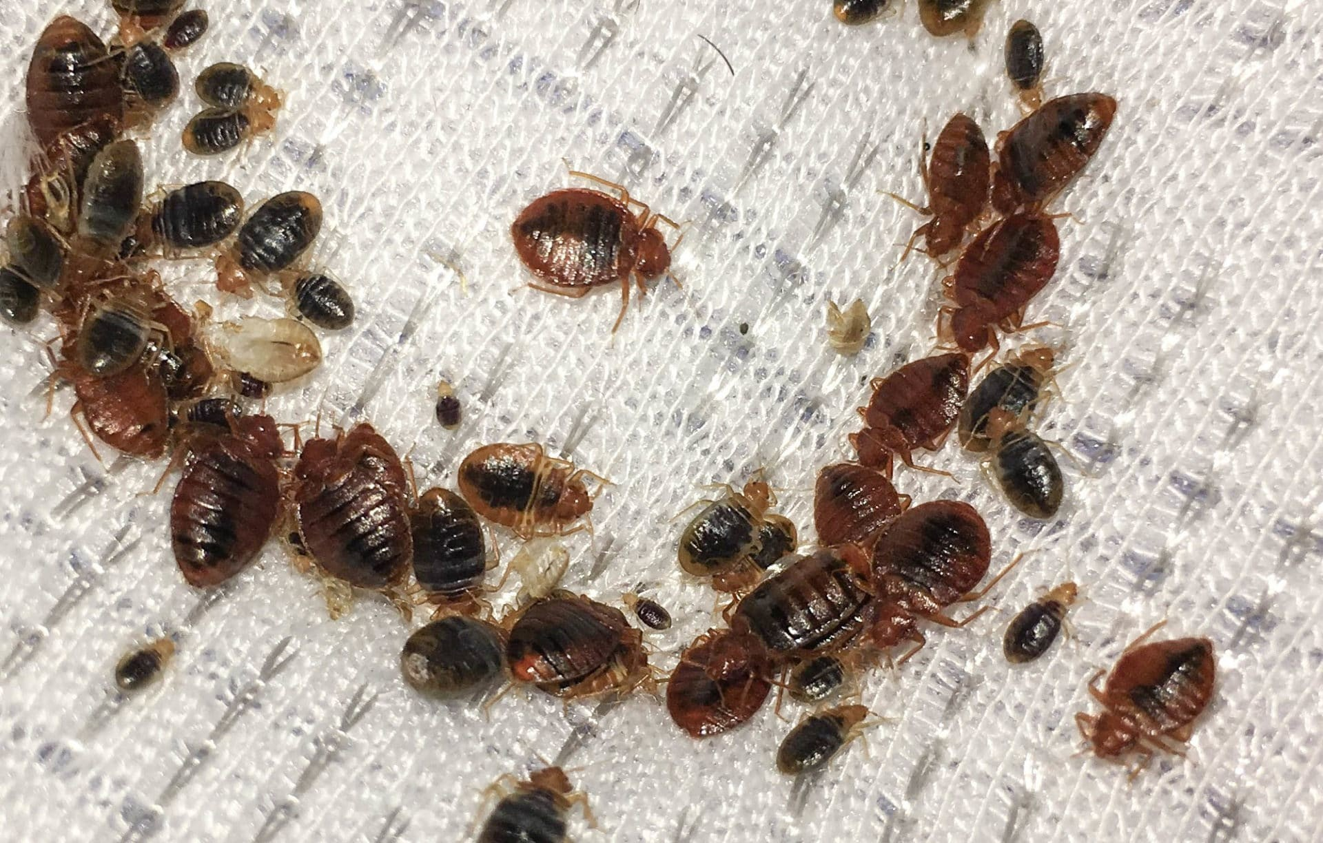 What Is The Main Cause Of Bed Bugs Southern Perimeter