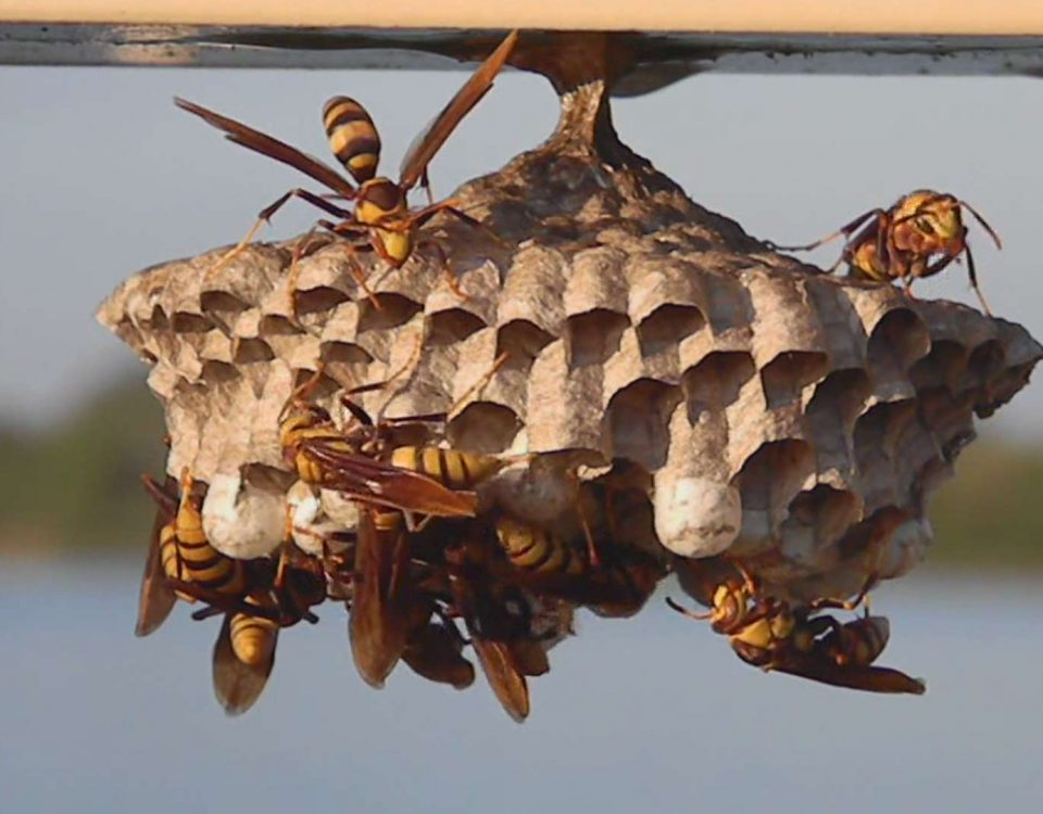 wasp-removal-services